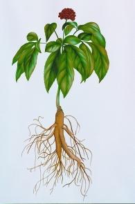 צמח הג'ינסנג